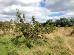 Orchard  behind our Cottage with ripe apples